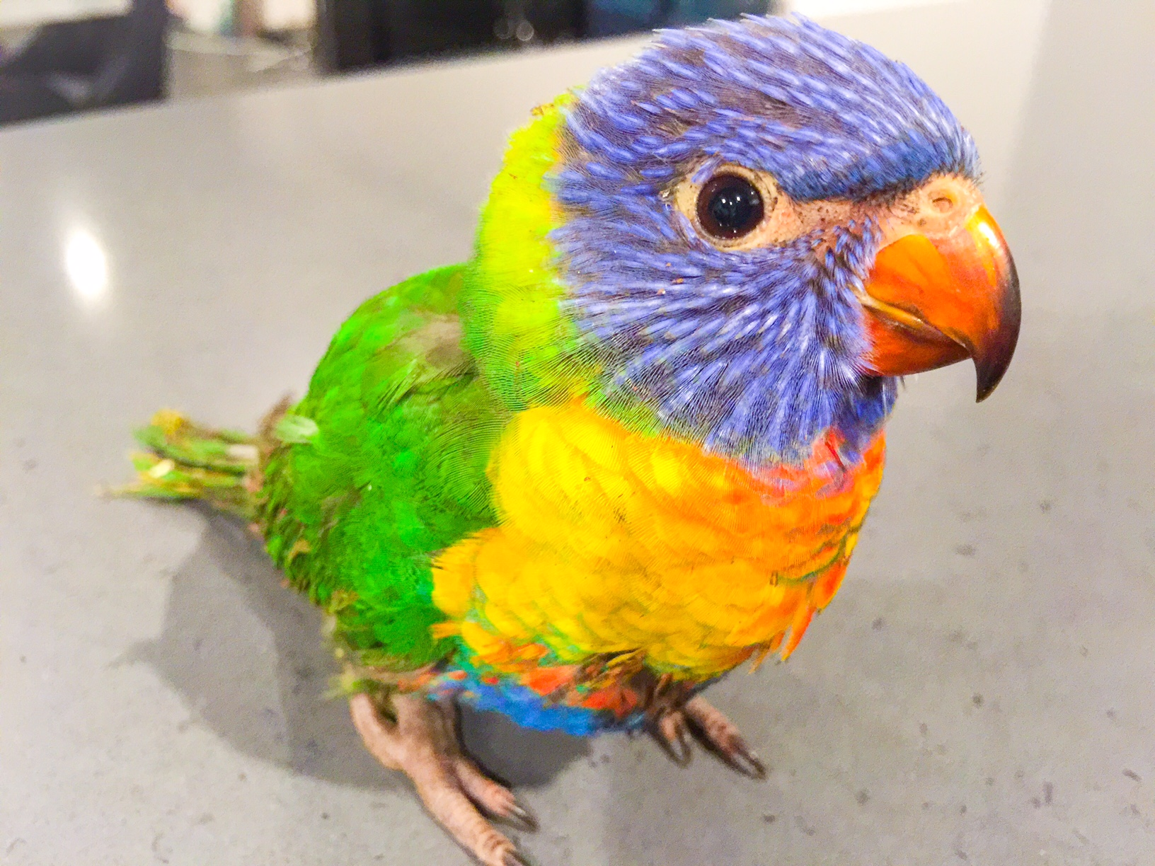 Over the Rainbow Lorikeet - Australian Bird - Perth Blogger Katie Rebekah