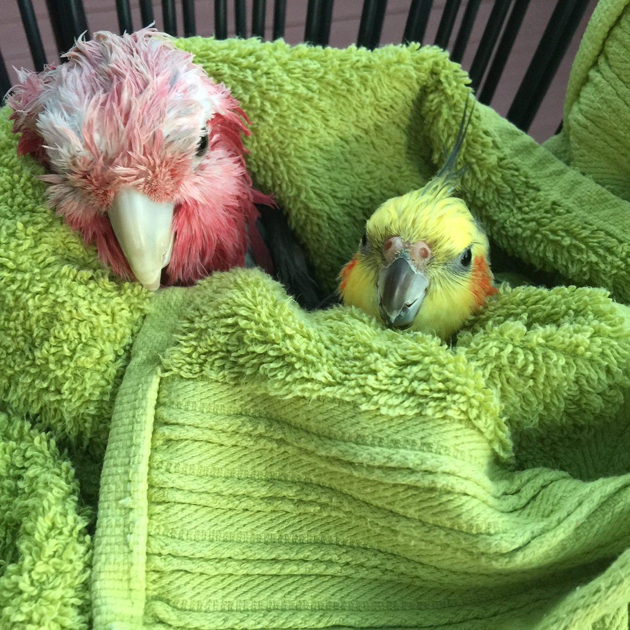 Kenickie-bird - a weiro cockatiel lost in Perth - Perth Blogger Katie Rebekah