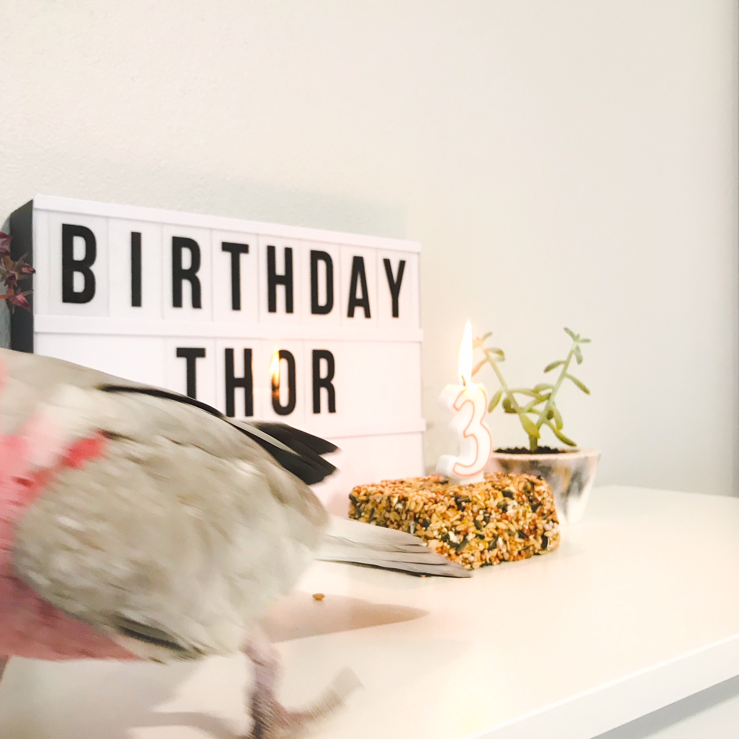 Birthday Birdie Thor – Pink Grey Galah Cockatoo – Perth Blogger Katie Rebekah